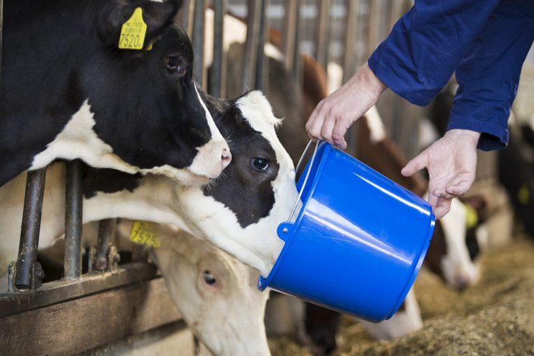 Kalf drinkt melk uit een blauwe emmer